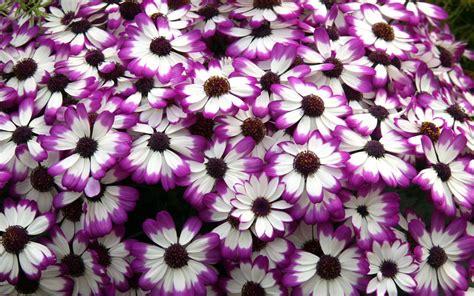 Cineraria Purple White Flower Petals Desktop Wallpaper