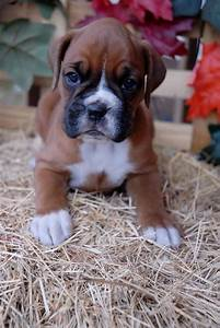 Best 25+ Cute boxer puppies ideas on Pinterest | Baby ...