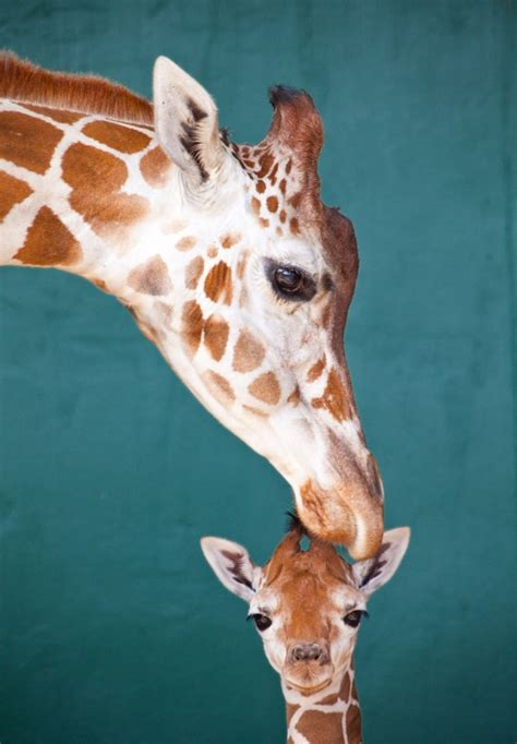 Baby Giraffe And Mama Zomgscute  We Know Awesome