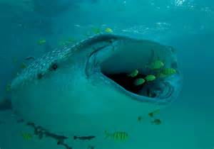 Whale Shark Eating Fish