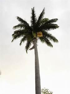 Palmier De Jardin : file palmier jardin wikimedia commons ~ Nature-et-papiers.com Idées de Décoration