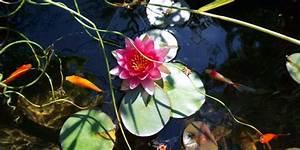 Wasserpflanzen Teich Kaufen : wasserpflanzen im teich lupos landleben ~ Michelbontemps.com Haus und Dekorationen