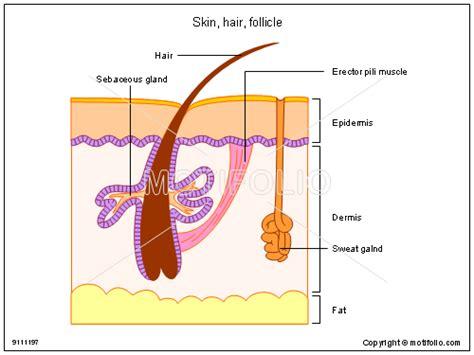 skin and hair follicle diagram