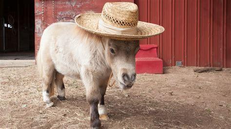horse horses miniature tiny dwarf mini star shammy pets dwarfism internet meet born dog