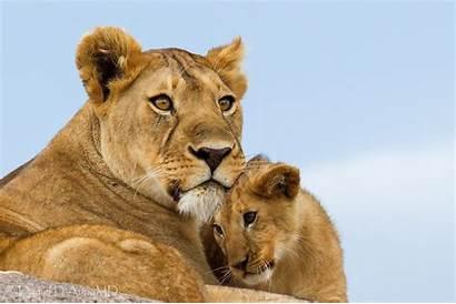 Lions Desktop Lioness Definition Foto Animals Auria