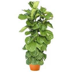 gift baskets for christmas ficus lyrata bush plant and flower delivery manhattan