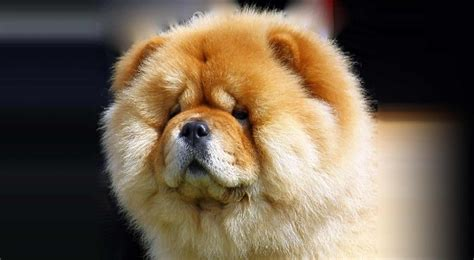 Chow Chow Dog Breed Information - American Kennel Club
