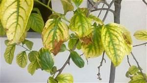 Hibiskus Hat Blattläuse Was Tun : hibiskus gelbe bl tter hibiskus gelbe bl tter pflanzen ~ Lizthompson.info Haus und Dekorationen