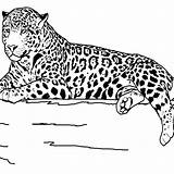 Coloring Animals Realistic Animal Pages Printable Wildlife Jaguar Teens Outline Safari Sheets Drawing Clipart Teenagers Grassland Lion Getdrawings Library Getcolorings sketch template