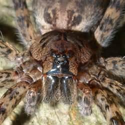 World's Biggest Spider