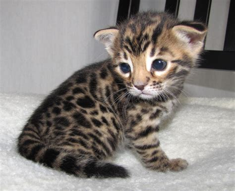 cat price how are bengal cats price about animals