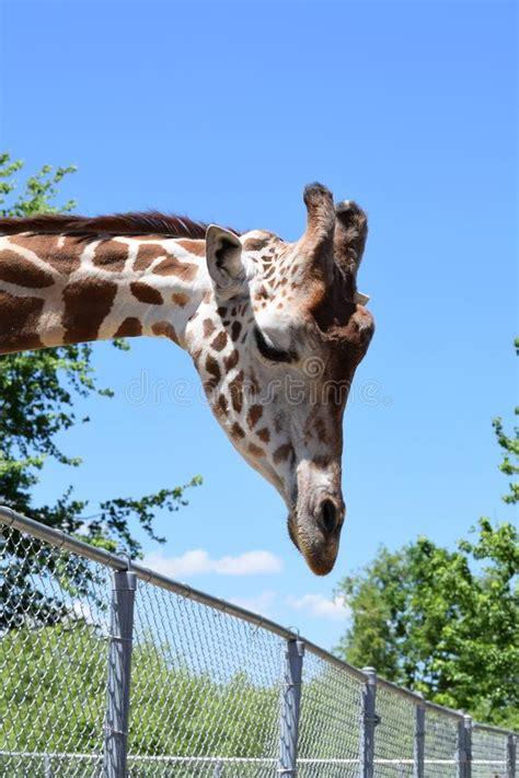 giraffe   stock photo image  pattern