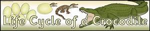 Crocodile Printables For Primary School