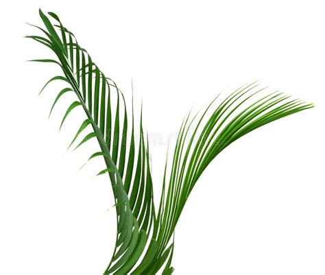 green leaves  palm tree isolated  white curly