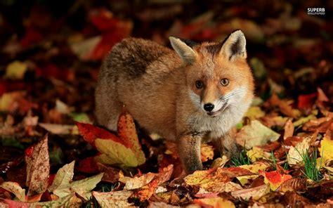 Animated Fox Wallpaper - baby fox wallpaper wallpapersafari