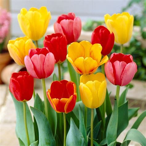 tulip and daffodil mix dormant bulbs 80 pack 70101 the