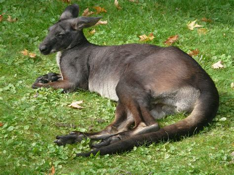wallaroo hd wallpapers backgrounds wallpaper abyss