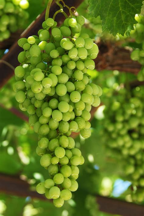 growing grapes  stock photo public domain pictures