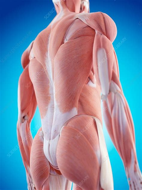 Human back muscles - Stock Image - F015/8214 - Science ...