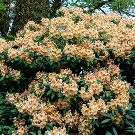 Rhododendron Winterfest Machen Garten by Rhododendron Bernstein Kaufen Bei G 228 Rtner P 246 Tschke