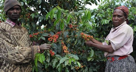 000 rwandans make their living from coffee plantation.179 reliance on agricultural exports makes rwanda vulnerable to shifts in their prices.180 animals raised in rwanda include cows, goats. How Agro-Tourism is Marketing Rwanda's Coffee - Alive2green
