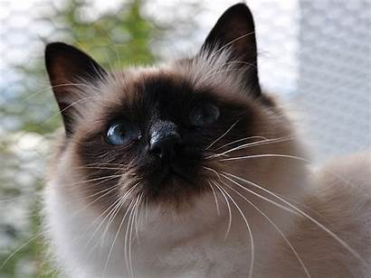 Cat Birman Cats Wallpapers Cool Desktop Funny