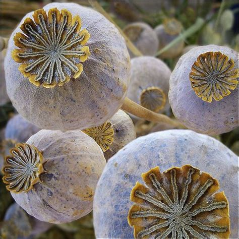 poppy seed pods seeds