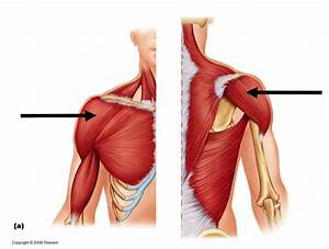 Shoulder Muscles at Western Carolina University - StudyBlue