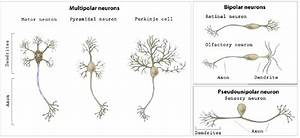 2  Basic Neuron Types Of Different Brain Areas  Classed By