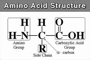 Amino Acids  U2013 Legos Of Life