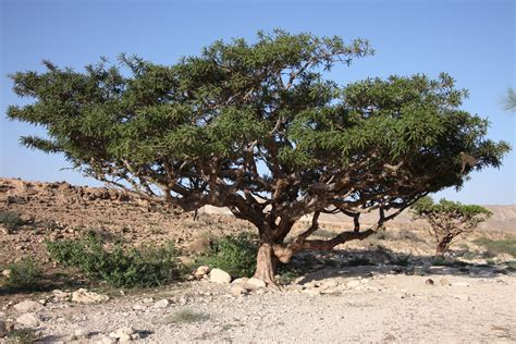 growing frankincense anyone here growing frankincense and myrrh