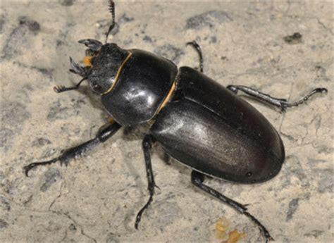 insetto nero volante cervo volante lucanus cervus