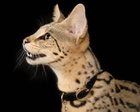 savanah cats f1hybirds cats