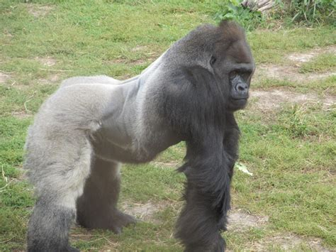 Silverback Gorilla Posing Free Stock Photo - Public Domain ...