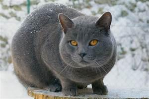 Les chats: Le Chartreux
