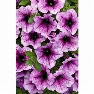 Proven Winners Supertunia Bordeaux (Petunia) Live Plant ...