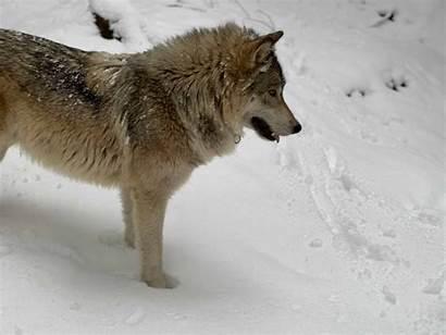 Encounter Wolf Wolves Heart Predators Wild Side