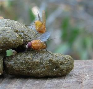 flies on poop | Flickr - Photo Sharing!