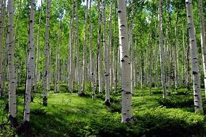 Aspen, Trees, Photo, Mountain, Meadow, Photo, Summer, Green, Art, Aspen, Trees, Wall, Art, Aspen, Tree