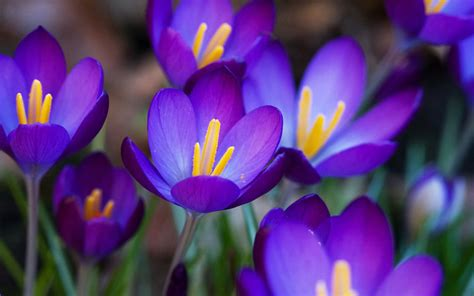 pictures of crocus wallpapers purple crocus flowers wallpapers
