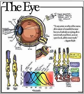 Eyes Diagram Rods Cines : the eye diagram of the eye rods cones different types ~ A.2002-acura-tl-radio.info Haus und Dekorationen