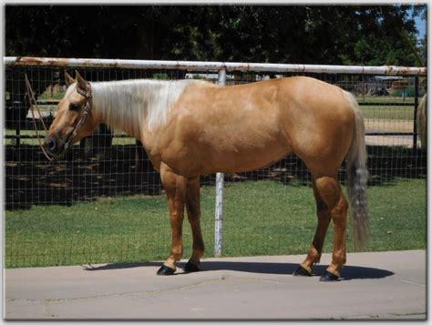 horses horse satisfied mare quarter gentle super short enough customers gilbert az myhorseforsale