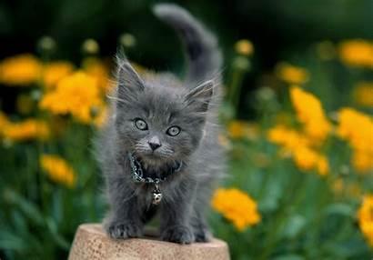 Grey Cat Dark Desktop Wallpapers Background Kittens