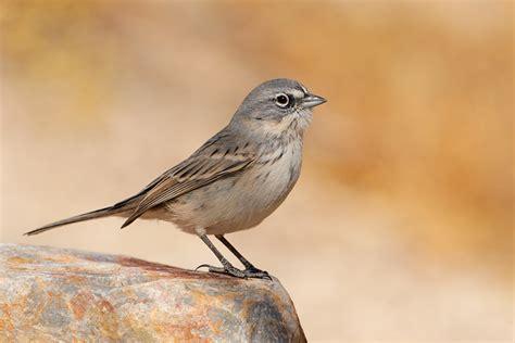 top 28 southern california sparrows orioles blackbirds