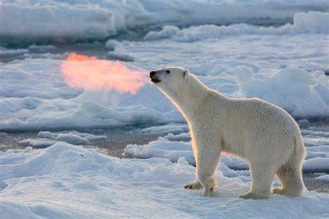 This polar bear spits fire - Strange Sounds