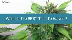 when is best time to harvest marijuana cannabis home