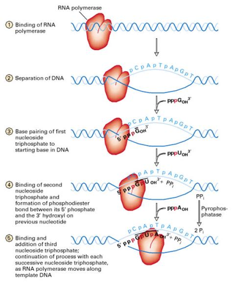 the enzyme uses atp to unwin dna template transcription