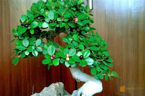 tanaman hias   perawatan harian tanaman bonsai