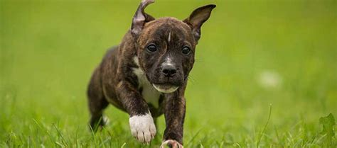 bull terrier dog breed