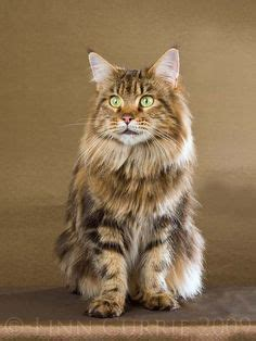 fat fluffy maine coon cat max cats dogs